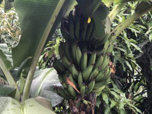 Bananenstaude in Kazo Uganda