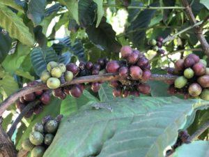 Kaffee Plantage Uganda