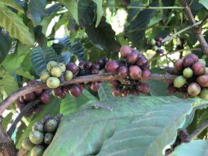Kaffeeplantage Uganda