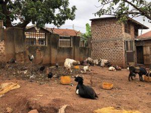 Kazo Kawempe Ziegen im Garten