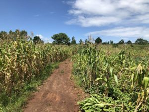 Maisfeld in Uganda