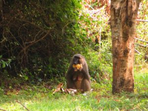 Affe im Murchison Falls National Park Uganda