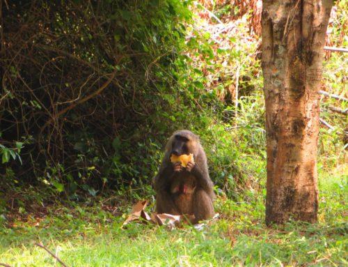 Coronavirus bedroht auch Ugandas Tierwelt