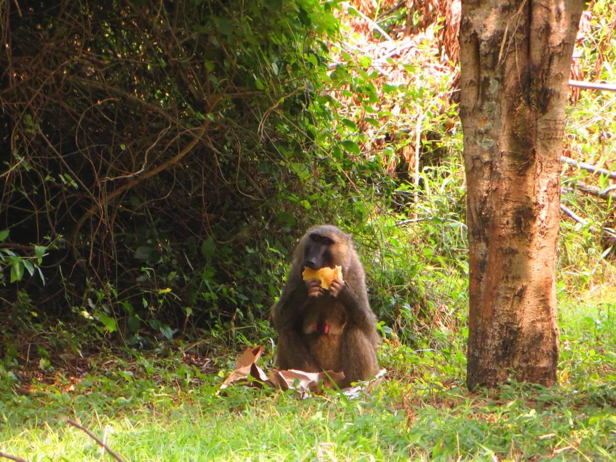 Monkey in Murchison Falls National Park Uganda