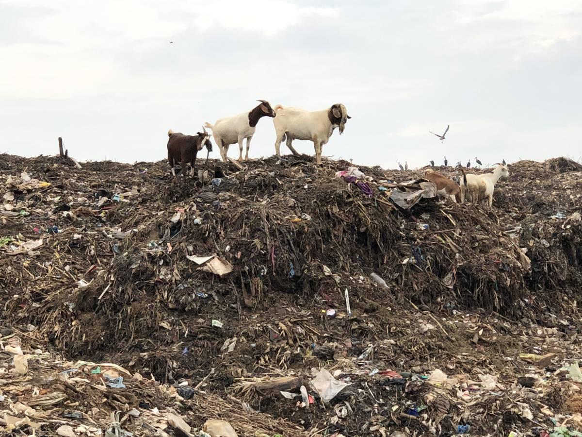 Ziegen Kiteezi Mülldeponie Kampala